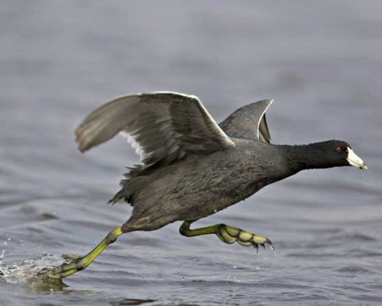 AmericanCoot-water-takeoff.AudubonFieldGuide