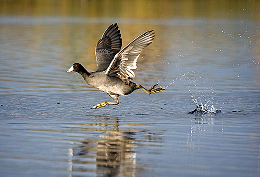 AmericanCoot-water-takeoff.USFWS