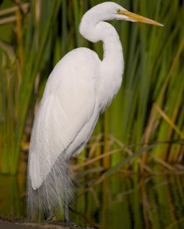 Egret Feathers, Worth More thanGold!