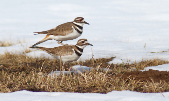 Killdeer-atop-killdeer.ThePhotoNaturalist