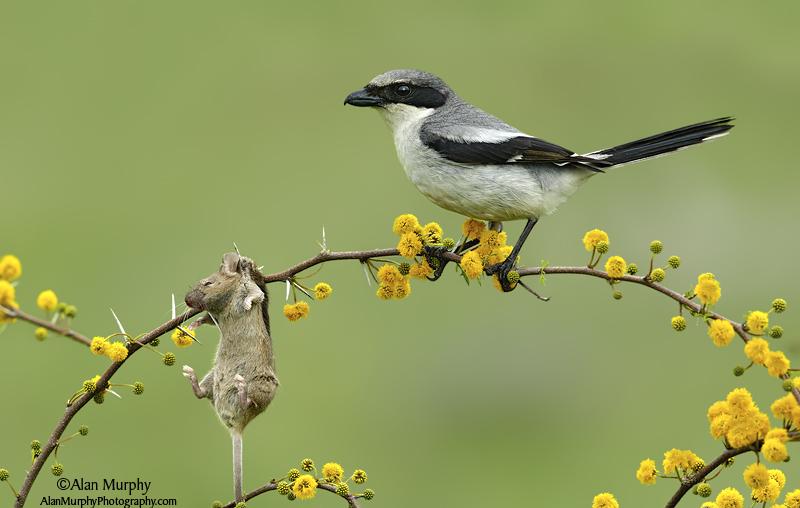 loggerheadshrike-with-impaled-prey.AlanMurphy