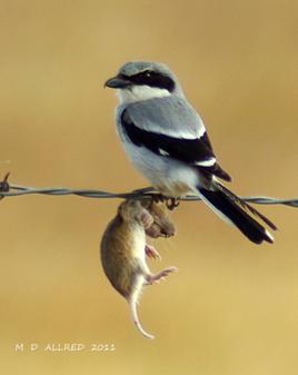 loggerheadshrike-with-impaled-prey.M-D-Allred