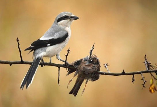 LoggerheadShrike-with-impaled-prey.Quora