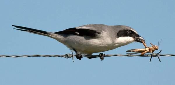 loggerheadshrike-with-impaled-prey.ScottSimmons