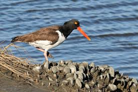 Oystercatcher-by-shells.ChesapeakeBayProgram