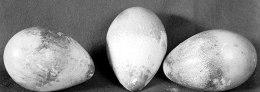 Penguin Eggs Tragedy