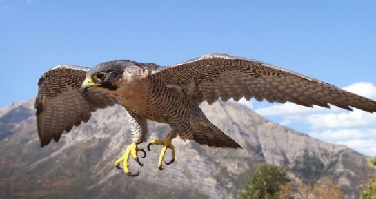 PeregrineFalcon-flying.NPS