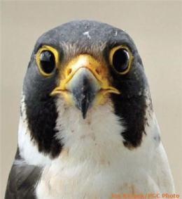 Peregrine Falcon, ProactiveHunter