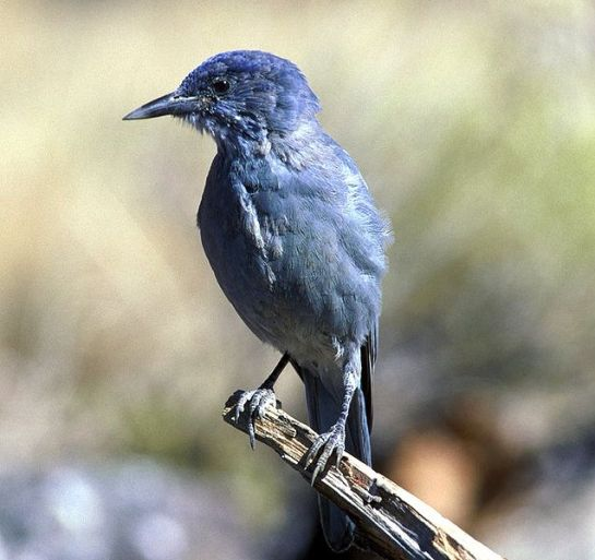 Pinyon-Jay.Wiki-photo