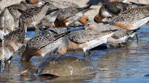 RedKnots-eating-crab-eggs.NJEnvtNews