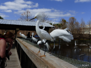 SNOWY EGRETS, showing off for the Dusings (Lee Dusing photo, at Gatorland, Forida)