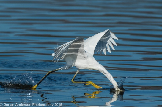 SnowyEgret-striking.DorianAnderson-photo