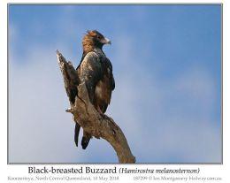 Ian's Bird of the Moment – Black-breastedBuzzard