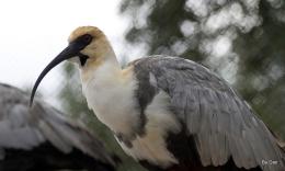 Birds of the Bible – Black-faced Ibis at Jax Zoo byDan