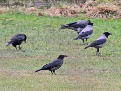 Carrion-hooded Crows-mixing-bird hybrids-photo