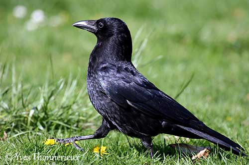 CarrionCrow.YvesThonnerieux-OuisseauxBirds