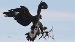 Where Eagles Dare: French Military Training Eagles vs.Drones