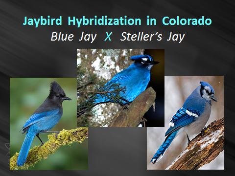 Jaybird-hybrid.Stellers-X-Blue-Jay