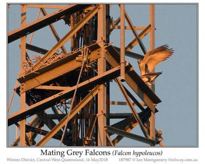 Gray Hawk (falcon hypoleucos) Mating by Ian