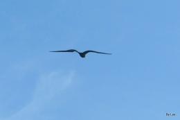 Frigatebirds Flying Over TheBeach