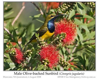 Olive-backed Sunbird (Cinnyris jugularis) Male by Ian