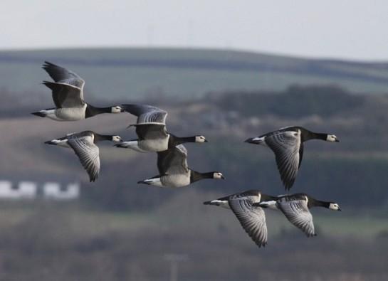 BarnacleGoose-flock-in-flight.BirdGuides