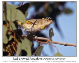 Ian's Bird of the Moment – Red-browed Pardalote