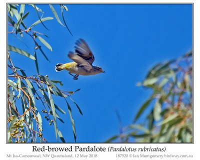 Red-browed Pardalote (Pardalotus rubricatus) by Ian