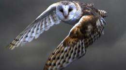 Owls in Flight:  Being Quiet onPurpose
