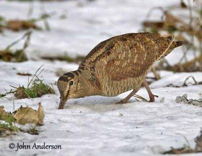 eurasianwoodcock-probing-snow-ouiseauxbirds.com-johnanderson