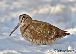 eurasianwoodcock-snow-ouiseauxbirds.com-johnanderson