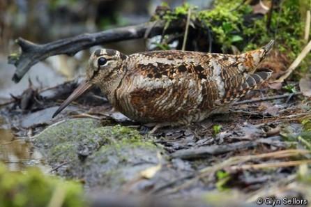 eurasianwoodcock.iucn-glynsellors