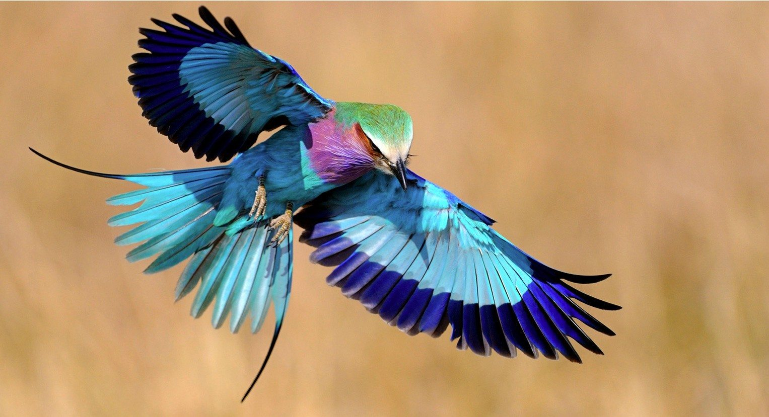 lilac-breasted-roller-spread-wings.answersafrica