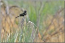 Fork-tailed Drongo (Dicrurus adsimilis) BirdingPix