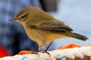 Common Chiffchaff (Phylloscopus collybita)