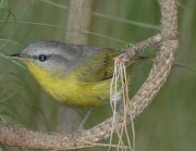 Grey-hooded Warbler (Phylloscopus xanthoschistos)