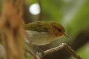 Red-faced Woodland Warbler (Phylloscopus laetus)