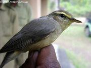 Sulphur-bellied Warbler (Phylloscopus griseolus)