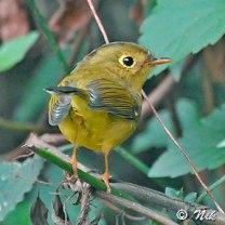 pas-phyl whistler's warbler (seicercus whistleri) by nikhildevasar
