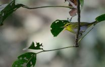 Yellow-vented Warbler (Phylloscopus cantator)
