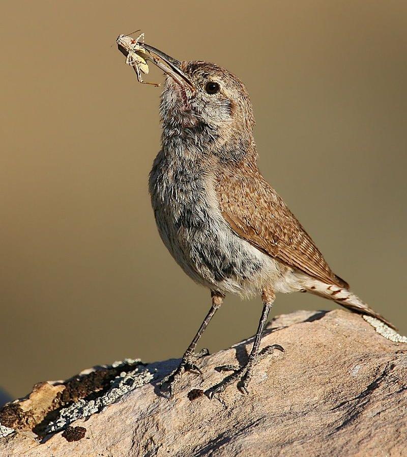 rockwren-with-grasshopper.wikipedia