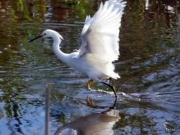 Walking Snowy Egret Showing Off YellowFeet