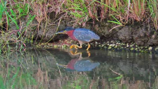 GreenHeron-EastTexas.YouTube
