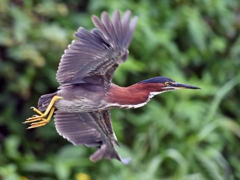 GreenHeron-flying.AllAboutBirds-CornellLabOrnithology