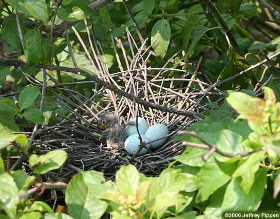 GreenHeron-nest-1hatchling-3eggs.JeffreyPippen
