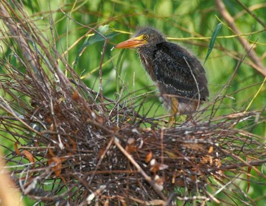 GreenHeron-nest-AD2017.MoDeptConservation