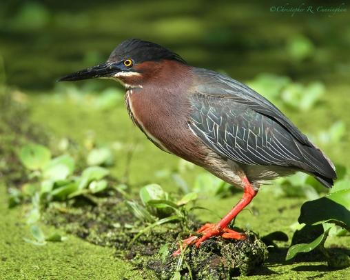 GreenHeron-TX-breeding-plumage.ChristopherCunningham