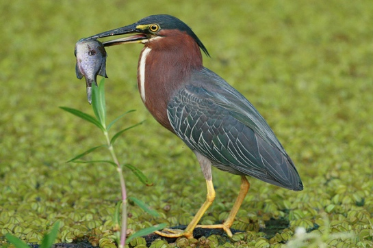 GreenHeron-with-fish.NedHaight-ChesapeakeBayProgram