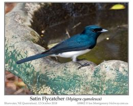 Bird of the Moment: Satin and LeadenFlycatchers