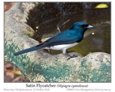 Satin Flycatcher (Myiagra cyanoleuca) Male ©Ian Montgomery